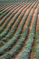 Lavender crops.
