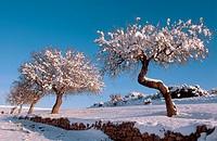 Snow-covered almond trees, Almansa. Albacete, Castilla-La Mancha, Spain