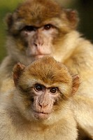 Barbary Macaque with Young (Macaca sylvana).