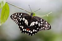 Lime Swallowtail (Papilio demoleus) on small leaf