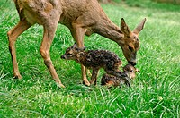 Roe deer (Capreolus capreolus) with two fawns