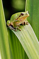 Common Tree Frog (Hyla arborea). Isle of Ruegen. Mecklenburg Western Pomerania, Germany