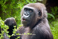 Gorilla eating at zoo. Barcelona, Catalonia, Spain