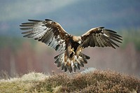 Golden Eagle (Aquila chrysaetos) adult in flight preparing to land on rock. Glenfeshie in the Cairngorms National Park (near Aviemore, Inverness-shire...