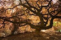 Japanese Maple contorted trunk, backlit fr below, spring (Acer palmatum ´Dissectum´). Kubota, Seattle, Washington. USA
