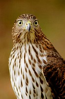 A Cooper´s hawk, accipter cooperii, poses, Pennsylvania, USA