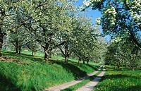 Way through cherry-trees and pear trees at blossom. Spring. Baden Wurttemberg. Germany.