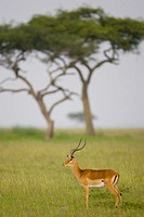Impala on the Masai Mara plains