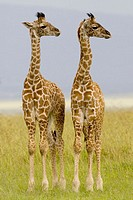 2 Newborn Masai Giraffe on the Masai Mara