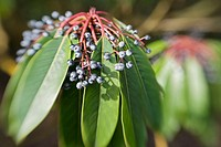 Yuzuri-ha fruit & foliage, blur effect (Daphniphyllum macropodum). VanDusen, Vancouver, BC.