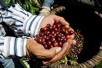 Arabica quality coffee beans. Coffee plantations near Poas volcano. Central Valley. Costa Rica. Central America