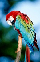 Green-Winged Macaw (Ara chloroptera)