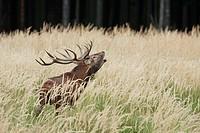 Red deer (Cervus elaphus) , male , call , calling , rut , rutting