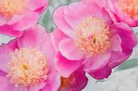 Pink Peonies. Paeonia lactiflora. May 2007. Maryland, USA