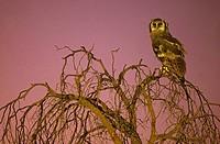 Giant Eagle Owl, Bubo lacteus, at dusk, Kgalagadi Transfrontier Park, Kalahari, South Africa