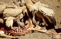 Whitebacked Vulture, Gys africanus, feeding on nyala, Mkuze Game Reserve, KwaZulu-Natal, South Africa