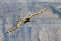 Lammergeier (Gypaetus barbatus) in flight