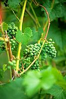 Leon Millot grapes (early ripening red).Saltspring Vineyards. Saltspring Island. Gulf Islands, British Columbia, Canada