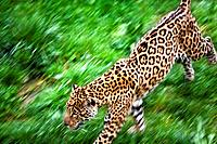 Jaguar (Panthera onca) in motion