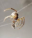 Common Garden Spider (Araneous diadenatus) wrapping prey in silk.