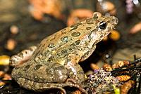 Mediterranean Painted Frog (Discoglossus pictus). Alt Emporda, Girona province, Catalonia, Spain