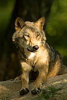 Wolf (Canis lupus). Bialowietza, Poland