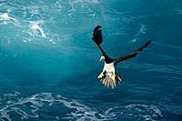 Brown booby, Sula leucogaster, preparing for landing, St  Peter and St  Paul´s rocks Brazil, Atlantic Ocean