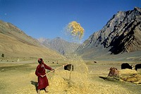 BARLEY THRESHING, PIDMO VILLAGE, ZANSKAR, INDIA