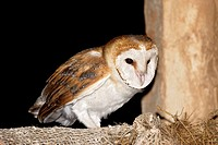 Common Barn Owl (Tyto alba). Teruel, Aragon, Spain