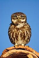 Little Owl (Athene noctua). Teruel, Aragon, Spain