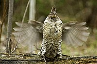 Ruffed grouse Bonassa umbellus- courtship display-Male drumming on fallen log in forest