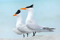 Royal Terns (Sterna maxima), Displaying. Sanibel Island, Florida, USA.