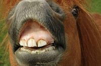 Closeup of Shetland pony´s muzzle and teeth trying to eat the camera