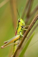 Small gold grasshopper (Euthystira brachyptera), family field grasshopper, dry meadow, Bavaria, Germany