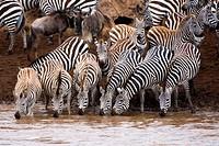 Burchell's Zebras or Plains Zebras (Equus burchellii) crossing the Mara river; Masai Mara National Park, Kenya, East Africa