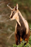 Chamois in the spanish pyrenees(Rupicapra rupicapra)