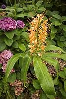 0716332 Ginger Lily blossoms & foliage w/ Hydrangeas bkgnd Hedychium coccineum, Hydrangea macrophyllum cv   Bellevue Botanical Garden, WA