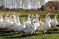 D, Germany, Europe, Brandenburg, Nature, Goose, Geese, Anser anserinae, Water bird