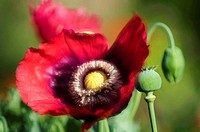 Stages of Life of Peony Poppy  Red Open Peony Poppy Flower, Seedhead and a Bud