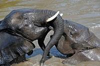 Elephants, Kruger National Park, Mpumalonga, South Africa