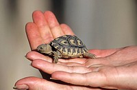 Babyschildkröte in meiner Hand