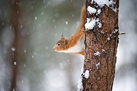 Red Squirrel Sciurus vulgaris in winter coat in snow  Scotland  January