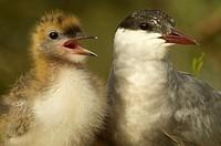 Fumarel cariblanco adulto con cría Chlidonias hybrida Whiskered tern adult with chick Chlidonias hybrida
