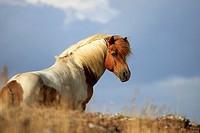 Iclandic horse, Öland, Sweden