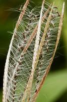 Broad-leaved Willowherb Epilobium montanum seedhead, Wales.