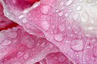 Rain droplets on Opium Poppy, Papaver somniferum