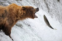 Grizzli bear Ursus arctos horribilis catching salmon in Brooks river, Katmai National Park, Alaska, USA