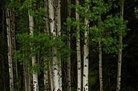 Aspen grove in spring, Grand Teton National Park, Wyoming, USA