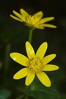 Flores de celidonia menor  Lesser celandine flowers  Ranunculus ficaria  Pontevedra, España