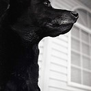 Black labrador retriever, close-up profile.
